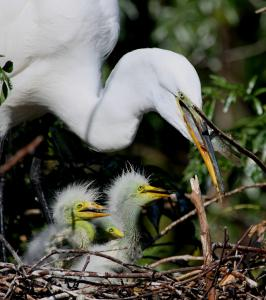 Baby Egrets - Momma took our Food